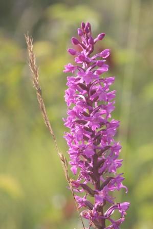 les orchidées sauvages la commune   villers franqueux   communauté
